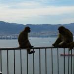 Les singes devant la baie de gibraltar
