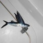 Des poissons volants sur le pont